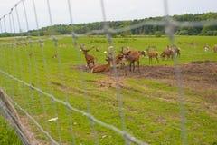Azienda agricola dei cervi Fotografie Stock Libere da Diritti