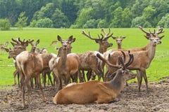 Azienda agricola dei cervi Fotografia Stock Libera da Diritti