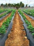 Azienda agricola dei cetrioli - verticale immagine stock libera da diritti