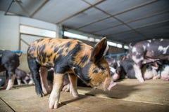 Azienda agricola dei maiali con l'agricoltura di alta qualità immagine stock