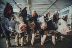 Azienda agricola dei maiali con l'agricoltura di alta qualità fotografie stock libere da diritti