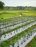 Azienda agricola dei peperoncini rossi Fotografia Stock