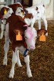 Azienda agricola dei vitelli Fotografia Stock
