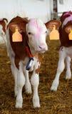 Azienda agricola 2 dei vitelli Immagini Stock