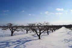Azienda agricola del Apple sull'inverno con le nubi blu Immagine Stock