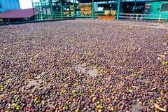 Azienda agricola del caffè Fotografie Stock Libere da Diritti