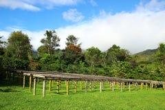 Azienda agricola del caffè Fotografie Stock