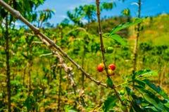 Azienda agricola del caffè a Manizales, Colombia Immagine Stock Libera da Diritti