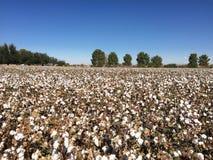 Azienda agricola del campo del cotone Fotografie Stock Libere da Diritti
