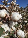 Azienda agricola del campo del cotone Immagini Stock Libere da Diritti