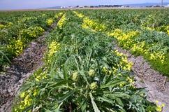 Azienda agricola del carciofo Immagini Stock Libere da Diritti