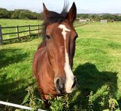 Azienda agricola del cavallo Head Fotografie Stock