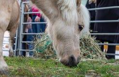 Azienda agricola del cavallo Head consumo Prato Erba pony fotografie stock libere da diritti