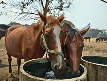 Azienda agricola del cavallo in Tailandia Fotografia Stock