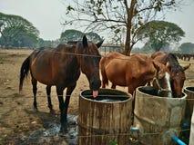 Azienda agricola del cavallo in Tailandia Immagini Stock Libere da Diritti