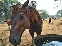 Azienda agricola del cavallo in Tailandia Immagini Stock