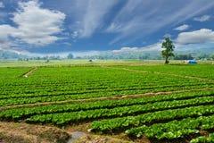 Azienda agricola del cavolo Fotografie Stock