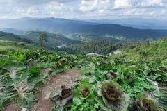 Azienda agricola del cavolo alla cima della montagna dell'inceppamento di lunedì in Chiangmai, Thaila Fotografia Stock Libera da Diritti