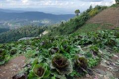 Azienda agricola del cavolo alla cima della montagna dell'inceppamento di lunedì in Chiangmai, Thaila Immagini Stock