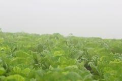 Azienda agricola del cavolo cinese fotografie stock