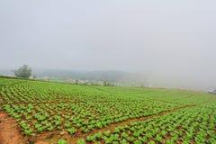 Azienda agricola del cavolo cinese fotografia stock libera da diritti