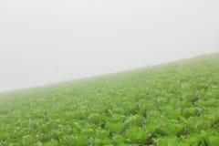 Azienda agricola del cavolo cinese immagini stock