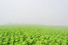 Azienda agricola del cavolo cinese fotografia stock