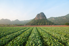 Azienda agricola del cavolo, Kanchanaburi, Tailandia Immagini Stock Libere da Diritti