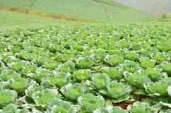 Azienda agricola del cavolo sulla montagna Immagine Stock