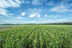 Azienda agricola del cereale Fotografie Stock Libere da Diritti