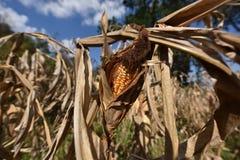 Azienda agricola del cereale Fotografie Stock