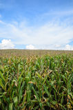 Azienda agricola del cereale con il cielo Fotografia Stock