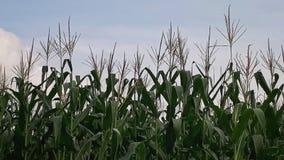 Azienda agricola del cereale durante il tempo nuvoloso di giorno Fotografie Stock