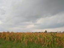 Azienda agricola del cereale durante il tempo nuvoloso di giorno Fotografia Stock Libera da Diritti