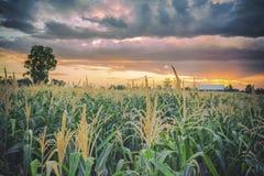 Azienda agricola del cereale e di tramonto in Tailandia Immagine Stock