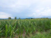 Azienda agricola del cereale in Tailandia Fotografia Stock Libera da Diritti
