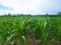 Azienda agricola del cereale in Tailandia Immagini Stock Libere da Diritti