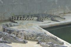 Azienda agricola del coccodrillo di Samutprakan immagine stock libera da diritti