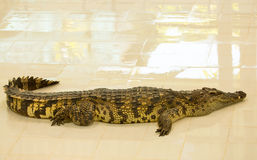 Azienda agricola del coccodrillo a Phuket, Tailandia Fotografia Stock