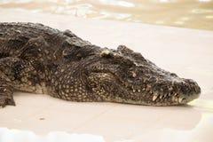 Azienda agricola del coccodrillo a Phuket, Tailandia Coccodrillo pericoloso Fotografia Stock