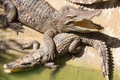 Azienda agricola del coccodrillo a Phuket, Tailandia Coccodrillo pericoloso Immagini Stock Libere da Diritti