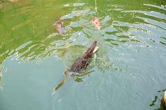 Azienda agricola del coccodrillo a Phuket, Tailandia Coccodrillo pericoloso Immagine Stock Libera da Diritti