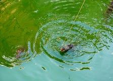 Azienda agricola del coccodrillo a Phuket, Tailandia Coccodrillo pericoloso Immagine Stock