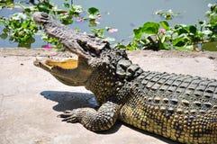 Azienda agricola del coccodrillo in Tailandia. Fotografia Stock