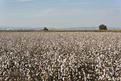Azienda agricola del cotone Fotografia Stock Libera da Diritti