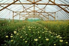 Azienda agricola del crisantemo dentro la serra Fotografia Stock Libera da Diritti
