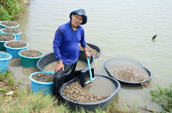 Azienda agricola del cuore edule di acquacoltura della gente tailandese e prendere per la vendita Fotografia Stock