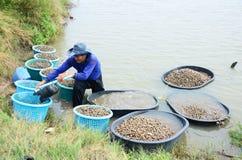 Azienda agricola del cuore edule di acquacoltura della gente tailandese e prendere per la vendita Fotografia Stock Libera da Diritti