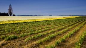Azienda agricola del Daffodil Immagini Stock
