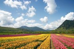 Azienda agricola del fiore del tulipano Immagini Stock Libere da Diritti
